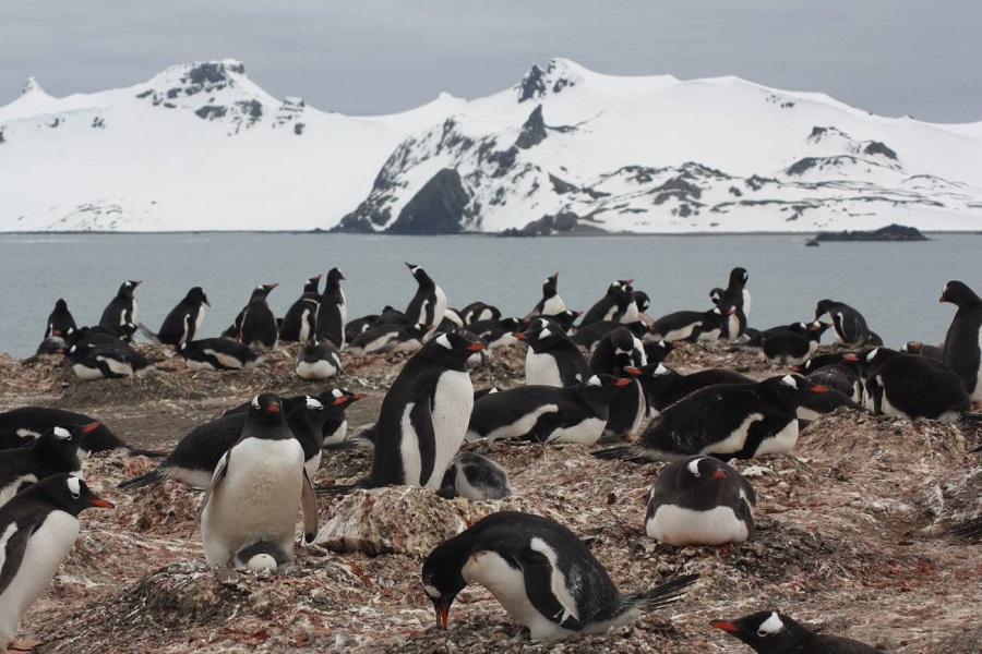 Los microplásticos se cuelan en la dieta de los pingüinos del Antártico