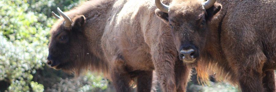 Un proyecto cántabro para la conservación del bisonte europeo, premiado en #Ecólatras by Ecovidrio como una de las iniciativas más sostenibles del país
