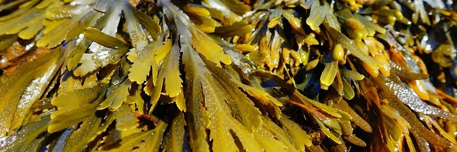 DS Smith apuesta por el uso de algas para fabricar papel y envases